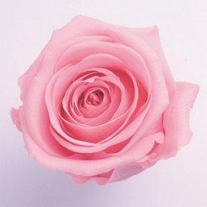 sweetrose.jpg
